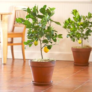 dwarf orange lemon lime trees hilary. Black Bedroom Furniture Sets. Home Design Ideas